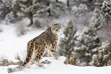 Mining Licenses, Snow Leopards, and a Mysterious Death