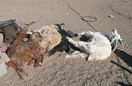After Brutal <em>Dzud</em> Winter, Mongolia Seeks Foreign Aid