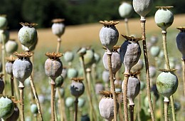 Is Poppy Production Really Down in Afghanistan?