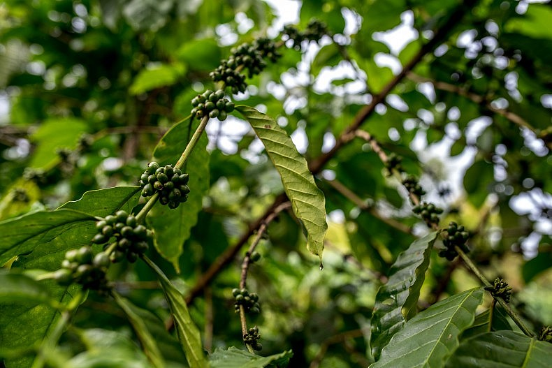 Coffee beans on a tree on the Bolaven plateau outside Pakse. Photo by Luc Forsyth,