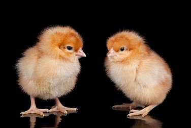 A Choice in Uzbekistan: Freshly Hatched Chicks or Cash?
