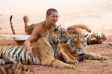 40 Dead Tiger Cubs Found in Thailand's Tiger Temple