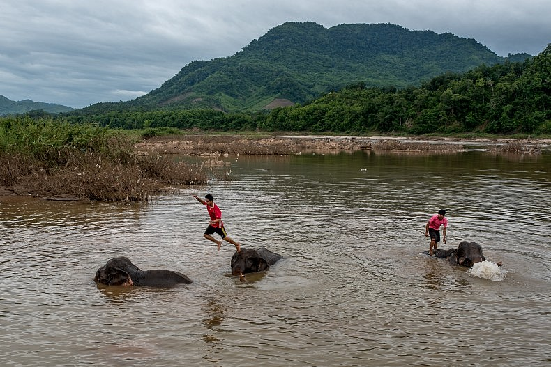 Mahouts wash their elephants in the Mekong river. The elephants visit the river at least twice a day to keep them cool and hydrated. Photo by Luc Forsyth.