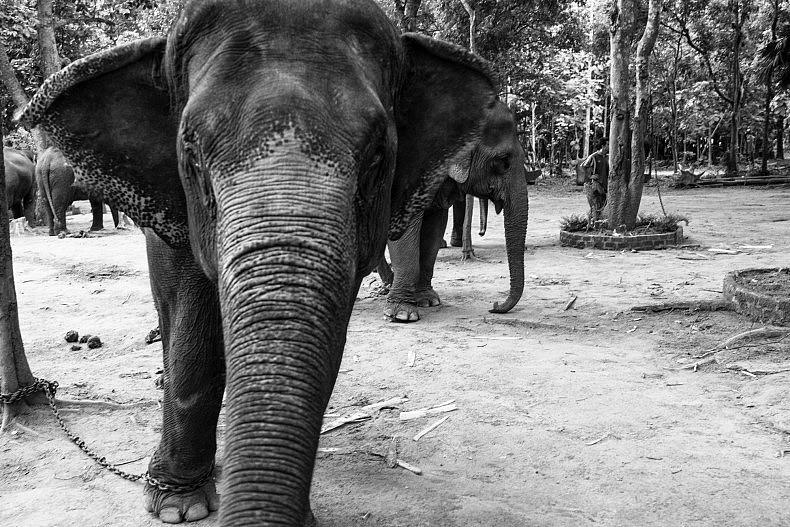 """""""Elephants hide their emotions,"""" Son Phet said. Photo by Gareth Bright."""