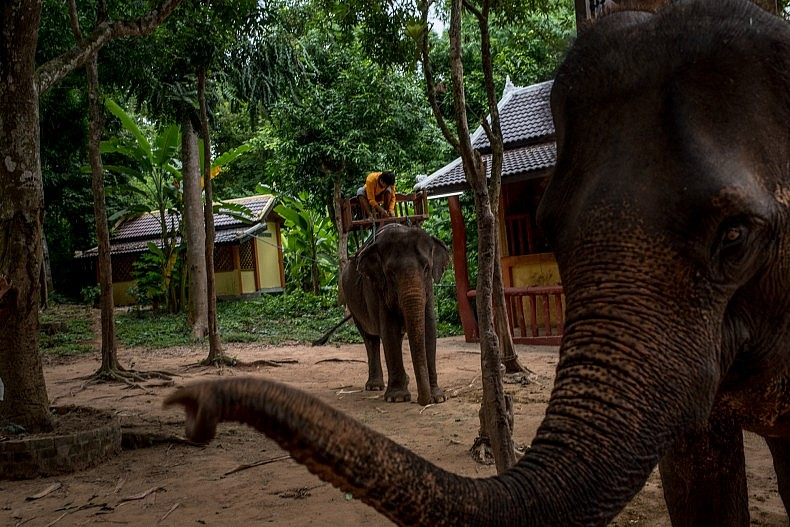 A mahout fits his elephant with a bench to carry tourists. Photo by Luc Forsyth.