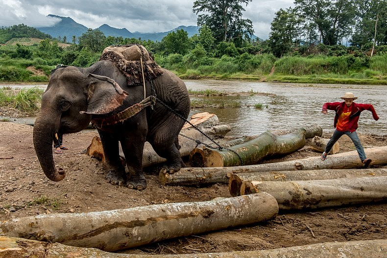 An elephant drags a log out of the Nam Ou river as her mahout watches on. Photo by Luc Forsyth.