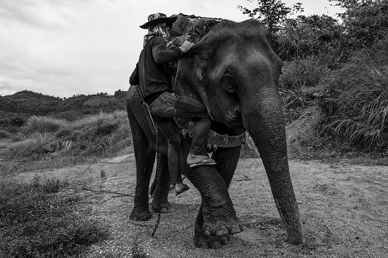 A manhout climbs back up his elephant, ready to pull more lumber up the bank. Photo by Gareth Bright.