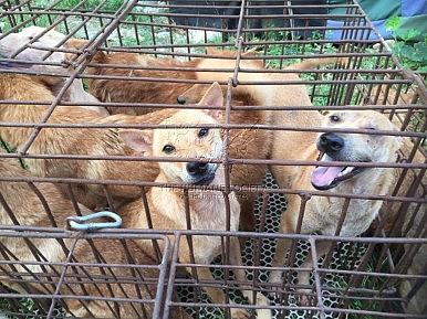 Yulin Dog Meat Festival Begins In Spite of Global Condemnation