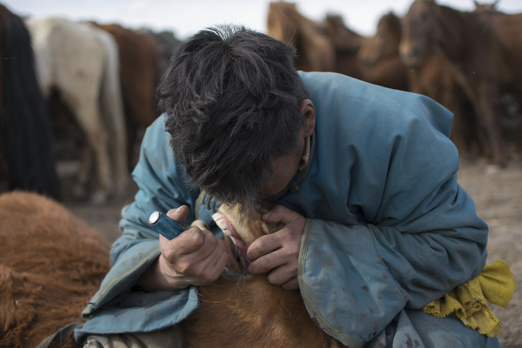 A Haircut for Mongolia's 'Half-Wild' Horses