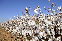 Cotton and Loans: Bad Business in Uzbekistan
