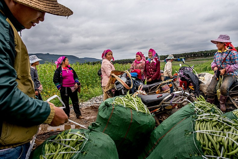 Farmers pack freshly picked beans and peas into sacks for transport to local markets in Manhenuan village. Photo by Luc Forsyth.