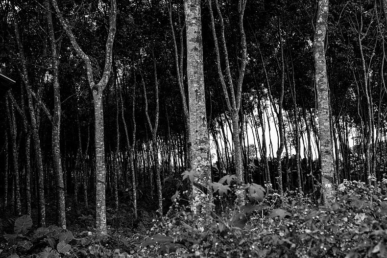 Rubber tree plantation in Manhenuan village, Xishuangbanna, China. Photo by Gareth Bright.