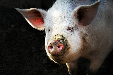 UN Calls Emergency Meeting to Curb African Swine Fever Outbreak in China