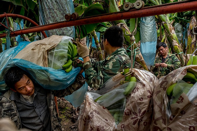 The bananas are wrapped in plastic to keep out bugs and for insulation against the cold. Photo by Luc Forsyth.