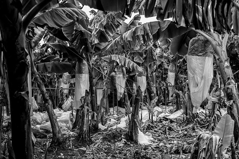 Workers harvest bananas on a plantation in Mengkwang village, Yunnan, China.