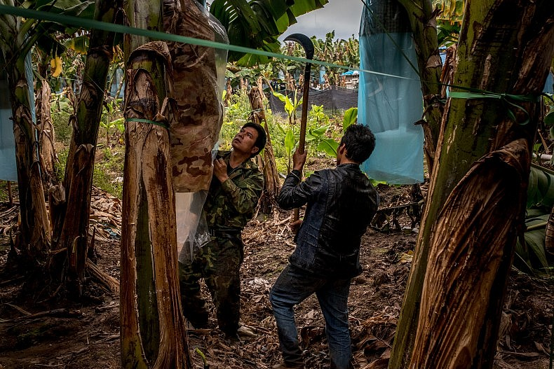 On call, one of the workers comes over to hack down the banana bundle. Photo by Luc Forsyth.
