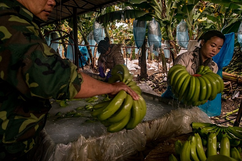 After their bath the bananas are packed into boxes and put on the truck. Photo by Luc Forsyth.