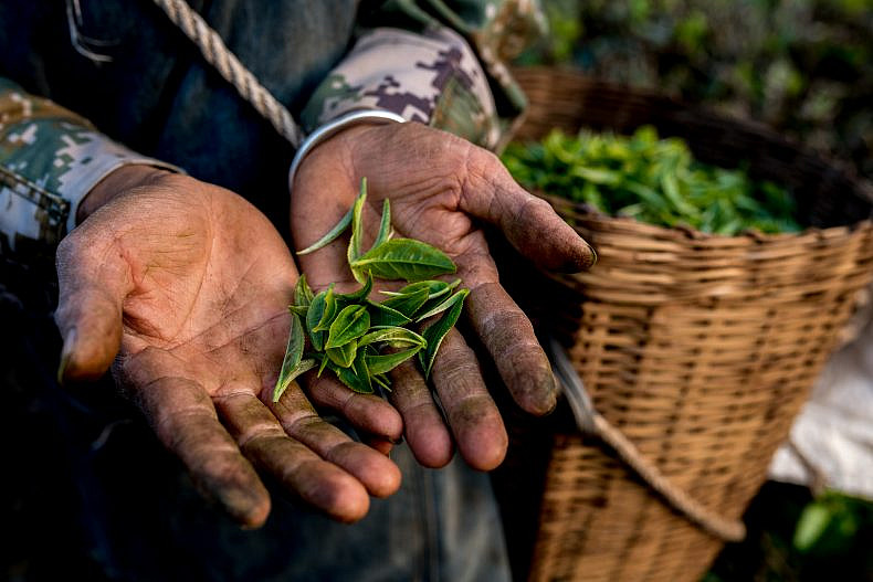 A worker shows some harvested tea leaves in Pu'er, Yunnan province, China. Photo by Luc Forsyth.