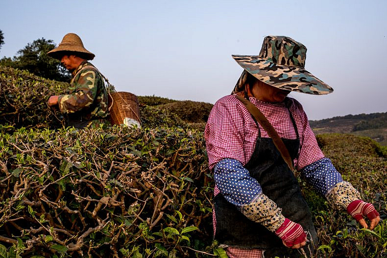 Workers pick tea in Pu'er, Yunan province, China. Photo by Luc Forsyth.