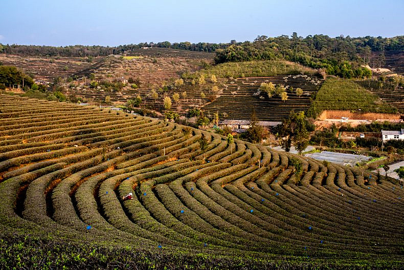 Tea fields in Pu'er, Yunan province, China. Photo by Luc Forsyth.