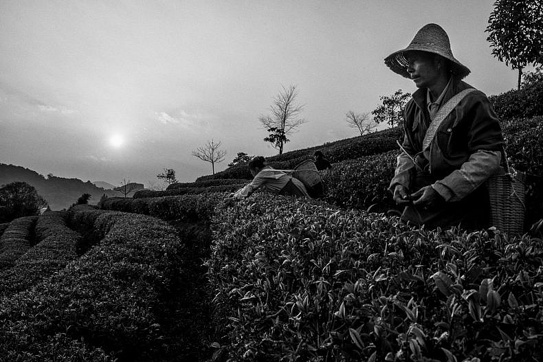 A worker picks tea in Pu'er, Yunnan province, China. Photo by Gareth Bright.