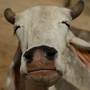 Enough Is Enough: Modi Must Reign in India's Cow Vigilantes
