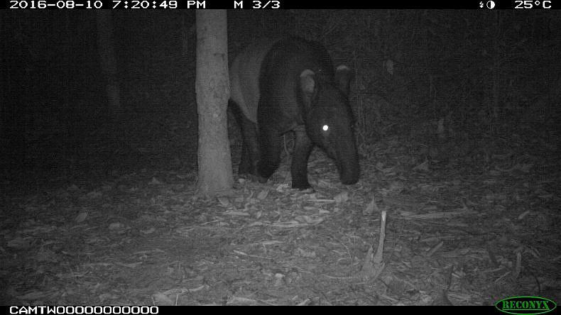 Malayan tapir in the Hadbuan Hills