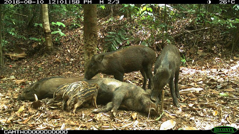 A family of wild pigs stop for a rest in front of a camera trap in the Hadabuan Hills. Image courtesy of Gregory McCann.