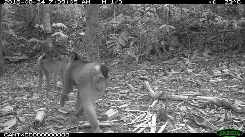 Pig-tailed macaques in the Hadabuan Hills.
