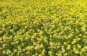 Much Ado About Mustard: A Familiar Civil Society Debate Reemerges on GMOs