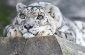 What is the Leading Cause of Snow Leopard Killings?