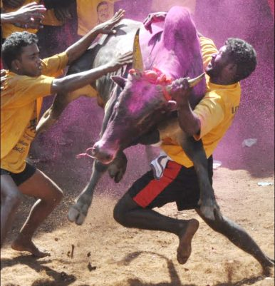 The Trouble With India's Bull-Taming Ban