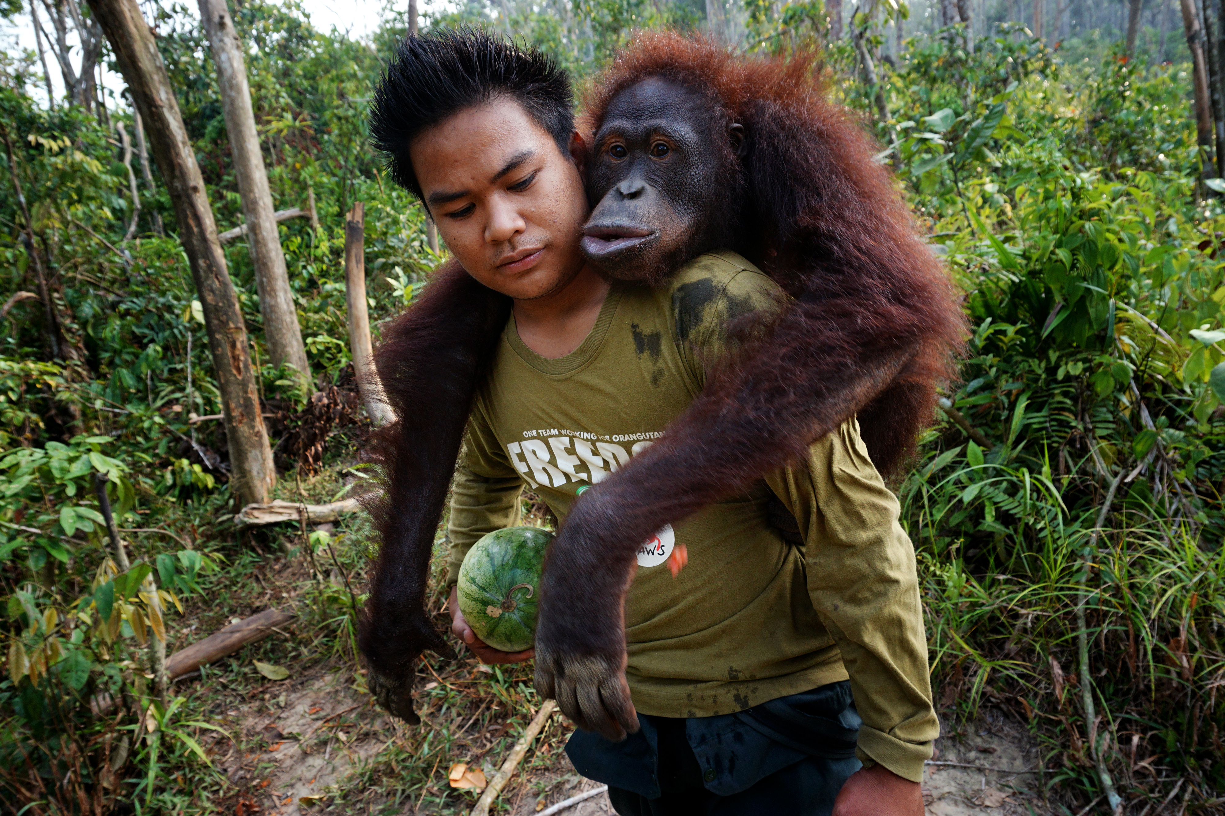 Almost Human: Orangutans in Indonesia