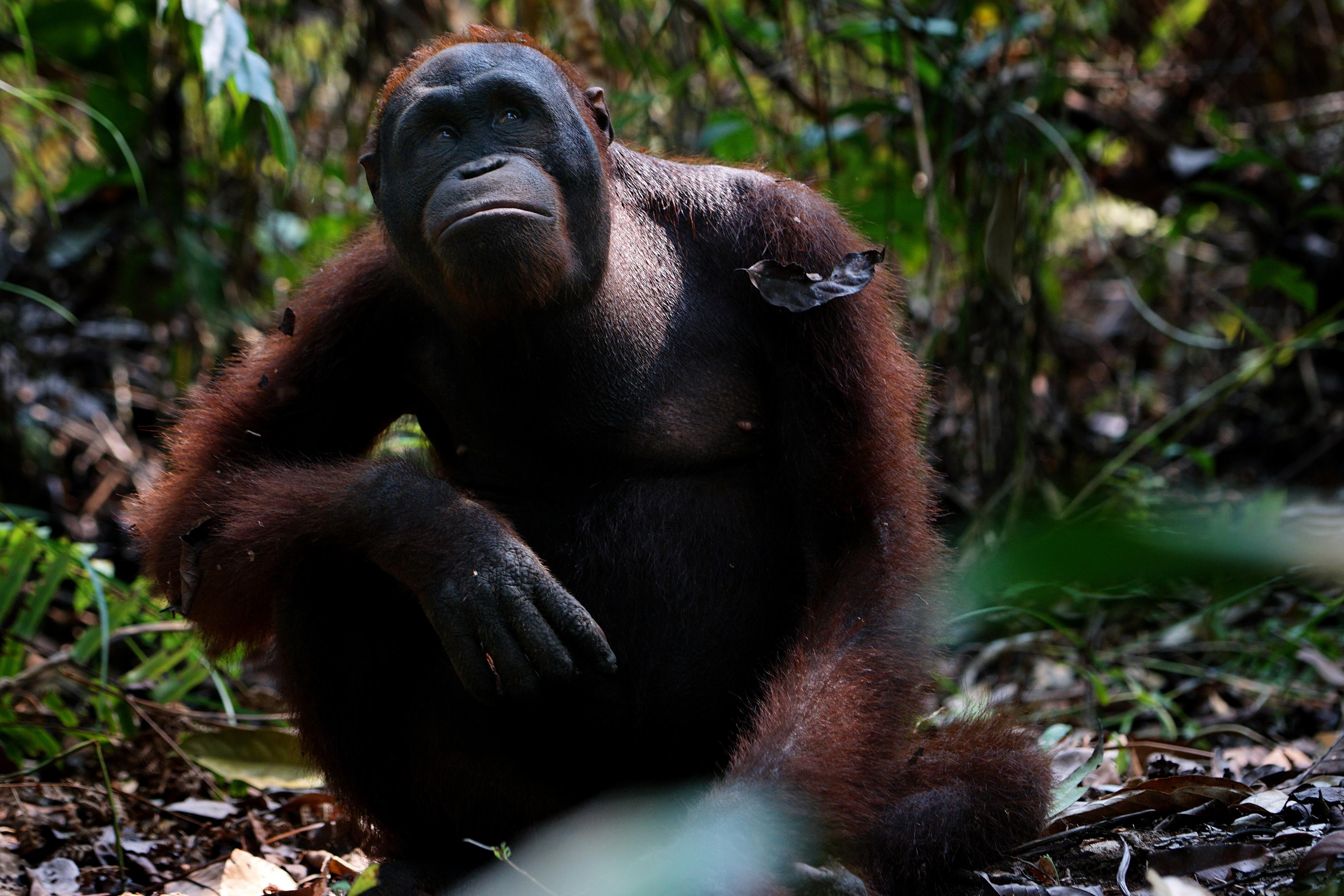 Almost Human: Orangutans in Indonesia
