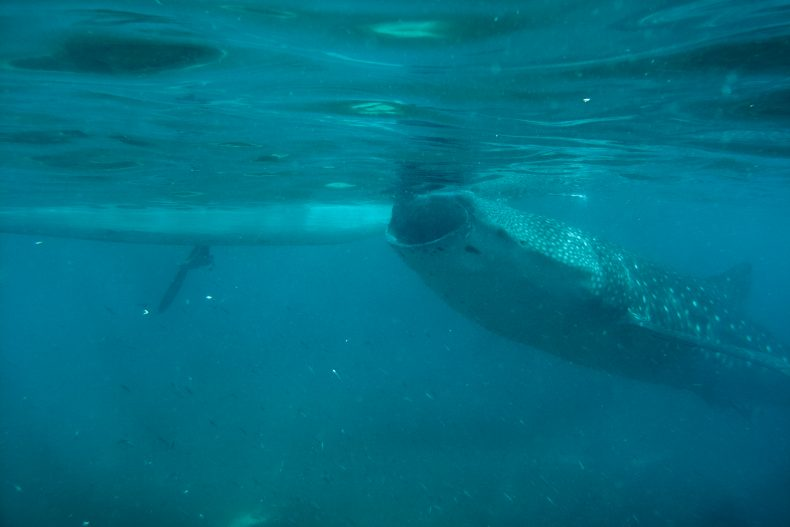 Whale Shark Tourism | The Diplomat