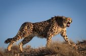 Are Cheetahs Back in Turkmenistan?