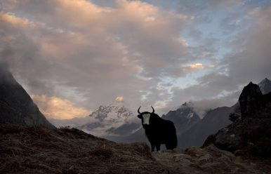 The Brokpa Yaks: A Dying Breed?