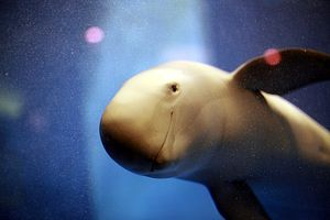 The Quest to Save China's Finless Porpoises