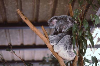 Koalaty Koala Care