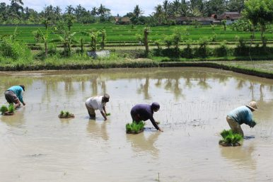 Indonesia's Aging Farmers