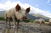 Taiwan's African Swine Fever Response Stirs Cross-Strait Tensions