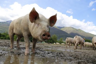 The Battle to Curb Swine Fever in Southeast Asia