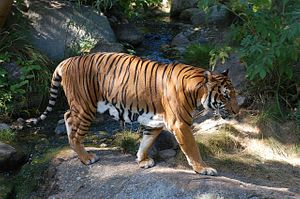Southeast Asia Must Confront its Illegal Tiger Problem