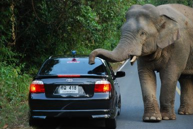 Elephant Roadkill: Thailand Grapples With Pachyderms on the Pavement