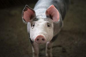 Why Pork Pushed China to a Deal