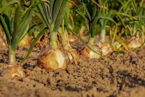 How Onion Prices Are Shifting Politics in South Asia