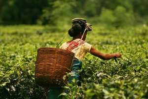 Indian Tea Plantation Workers Look to the World Bank to Prevent a Coronavirus Disaster