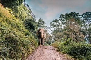 Thai Elephants, Out of Work Due to Coronavirus, Trudge Home