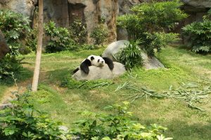 Calgary Zoo Returning Pandas to China Due to Bamboo Acquisition Barriers