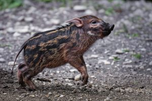 India's Northeast Hit By the African Swine Fever
